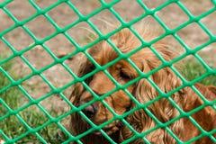在滤网以后的西班牙猎狗 图库摄影