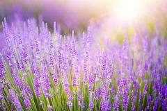 在紫罗兰色淡紫色领域的日落 库存图片