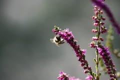 在紫罗兰色石南花的蜂 免版税图库摄影
