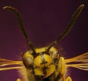 在紫罗兰色背景的共同的黄蜂 免版税库存图片