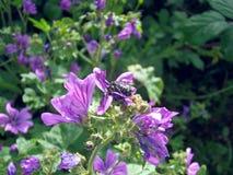在紫罗兰色花特写镜头的黑昆虫 图库摄影