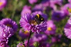 在紫罗兰色花的土蜂 免版税库存图片