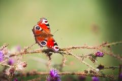 在紫罗兰色花的孔雀铗蝶 库存照片