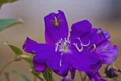在紫罗兰色花的尖刻的蜘蛛。 库存图片