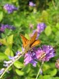 在紫罗兰色花的布朗蝴蝶 库存照片
