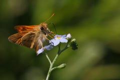 在紫罗兰色花的微小的蝴蝶 免版税库存照片