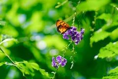 在紫罗兰色花的橙色蝴蝶,软性集中于模糊的gree 图库摄影