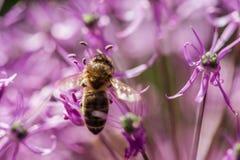 在紫罗兰色花的蜂与copyspace 库存照片