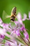 在紫罗兰色花的飞行蜂有绿色背景 免版税库存照片
