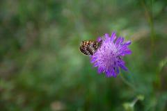 在紫罗兰色花的蝴蝶 免版税库存图片