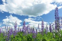 在紫罗兰色颜色羽扇豆上的触毛多云天空开花 免版税库存图片