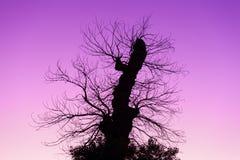 在紫罗兰色黎明天空的死的树剪影 库存照片
