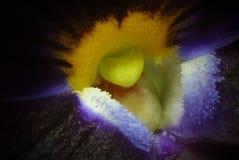 在紫罗兰里面 免版税库存图片