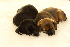 在绵羊皮肤的两只杰克罗素小狗在白色背景中 库存图片