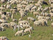 在绵羊群的绵羊在山草甸的 免版税图库摄影