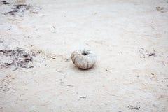 在死者以后的海胆 库存照片