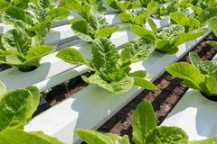在水耕的技术的绿色莴苣耕种 免版税库存照片