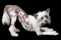 在黑背景前面的无毛的中国有顶饰狗 免版税库存图片
