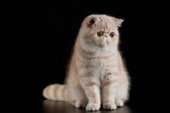 在黑背景猫的异乎寻常的波斯猫与大眼睛 免版税图库摄影
