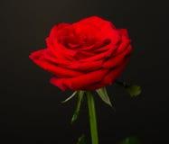 在黑背景的一朵红色玫瑰 免版税库存照片