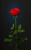 在黑背景的一朵红色玫瑰 库存图片