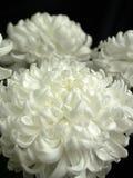 在黑背景的三朵白色菊花花 库存照片
