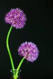 在黑背景的两朵美丽的紫色葱属花 库存照片
