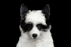 在黑背景的中国有顶饰小狗 免版税库存照片