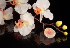 在黑背景的兰花 免版税库存照片