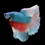 在黑背景的半月Betta 美丽的鱼 游泳的振翼尾巴振翼 免版税图库摄影