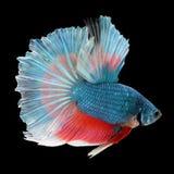 在黑背景的半月Betta 美丽的鱼 游泳的振翼尾巴振翼 库存图片