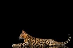 在黑背景的可爱的品种孟加拉小猫 免版税库存图片