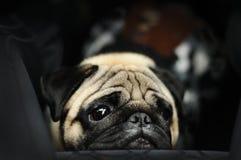 在黑背景的哈巴狗画象 图库摄影