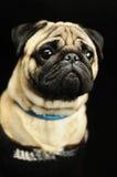 在黑背景的哈巴狗画象 免版税库存照片