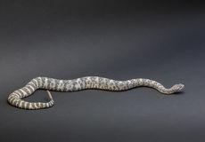 在黑背景的响尾蛇 免版税库存照片