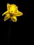 在黑背景的唯一黄水仙 库存照片