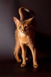 在黑背景的埃塞俄比亚猫 免版税库存照片