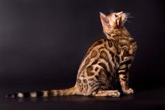 在黑背景的孟加拉猫 免版税库存图片