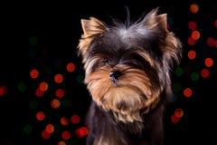 在黑背景的小狗 免版税库存照片