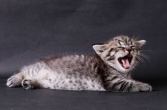 在黑背景的小猫 免版税库存图片