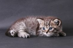 在黑背景的小猫 库存照片