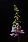 在黑背景的开花的圆白菜 免版税库存图片