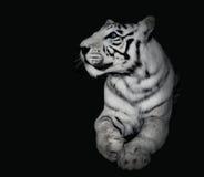 在黑背景的强有力的白色老虎 免版税库存图片