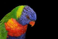 在黑背景的彩虹Lorikeet 库存图片