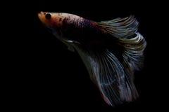 在黑背景的战斗的鱼 免版税库存照片
