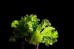 在黑背景的新鲜的绿色莴苣沙拉 免版税图库摄影