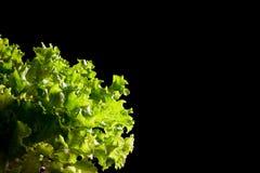 在黑背景的新绿色莴苣沙拉片段 免版税图库摄影