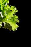 在黑背景的新绿色莴苣沙拉片段 免版税库存照片
