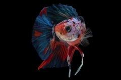 在黑背景的暹罗战斗的鱼孤立 库存图片
