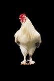 在黑背景的有机鸡 库存图片